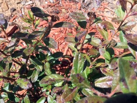 9.06.21 Azalea leaves scorched.jpg