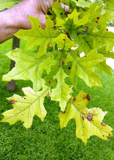 Iron deficiency in pin oak
