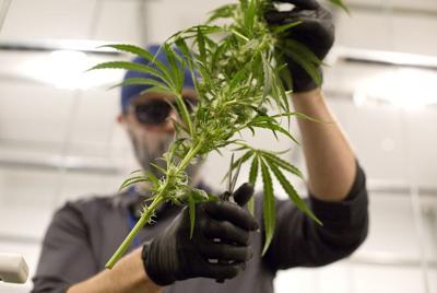 Marijuana cases