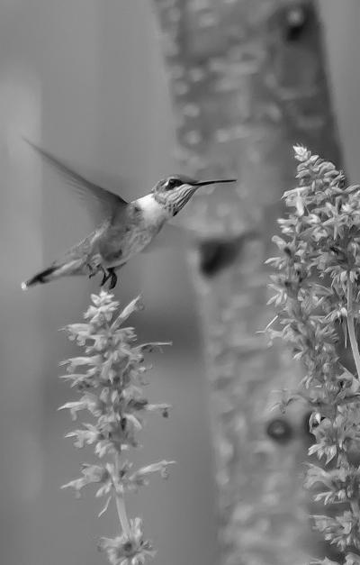 On Gardening: Hummingbird mints add color and excitement to the garden