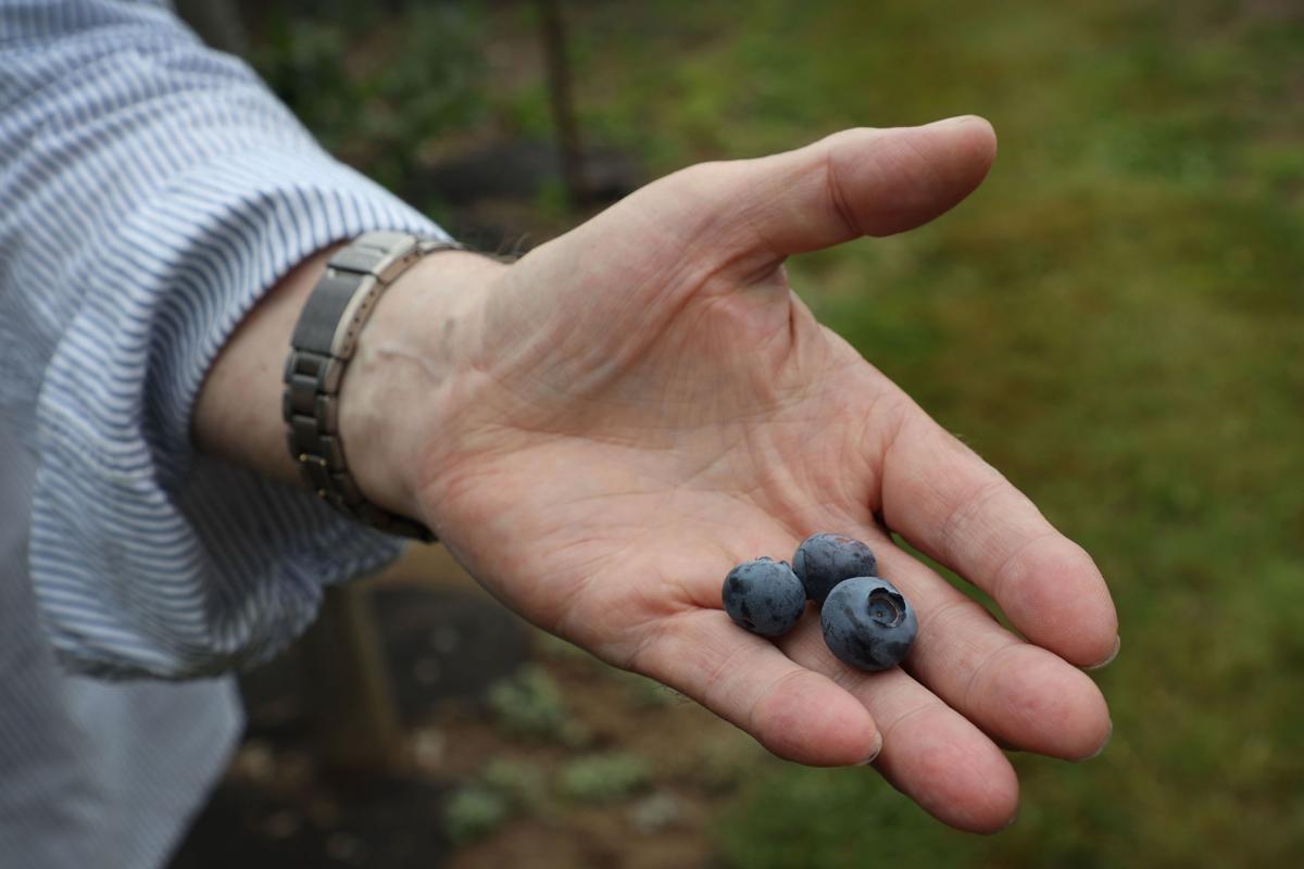 Spartan Blueberries