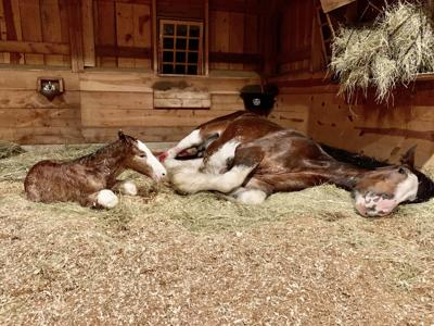 Local Clydesdale ranch welcomes new foal