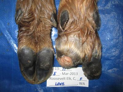 Hoof disease