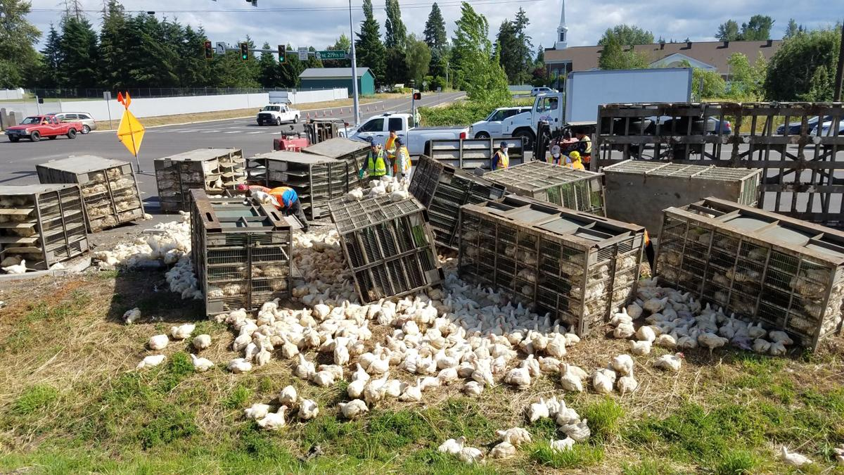 Semi-truck crash releases thousands of chickens, one