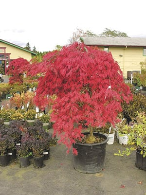 Fall Colors Can Be Seen Around The Grounds At Tsugawa Nursery In Woodland During This Time Of Year Experts Offer Numerous Tips On What