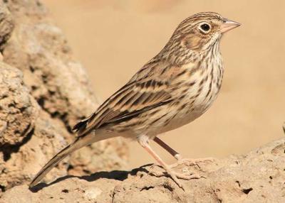 Oregon Vesper Sparrow recommended for listing as endangered in Washington
