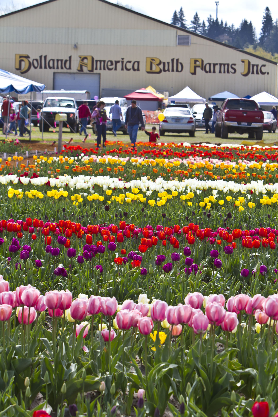 Holland america announces 2018 flower season garden scene patrons attend a past tulip festival at holland america flower gardens this year the festival has been dropped given unpredictability with weather izmirmasajfo