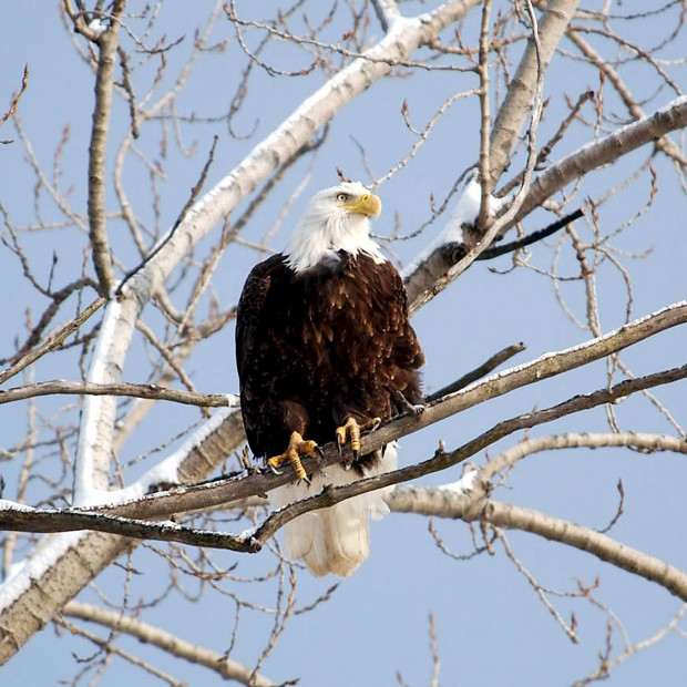 Bald Eagles back in region | Local News | thesouthern.com