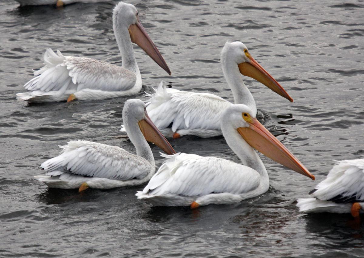 110217-spt-otd-pelicans-2.jpg