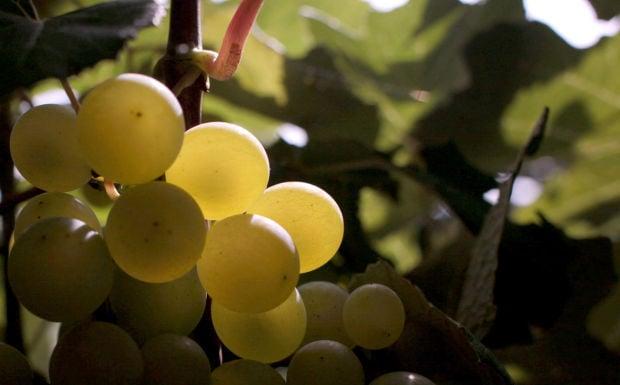 082514-nws-grape-harvest