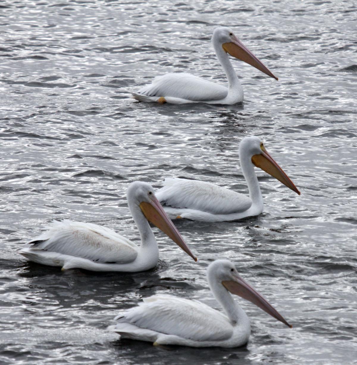 110217-spt-otd-pelicans-3.jpg