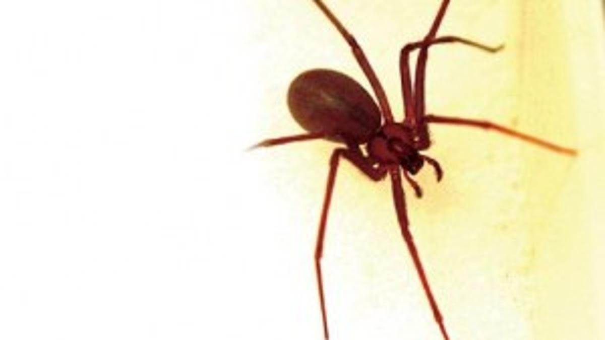 Unwanted Visitors Brown Recluse Spiders Are Common In Southern Illinois So Learn How To Protect Your Home Home Garden Thesouthern Com