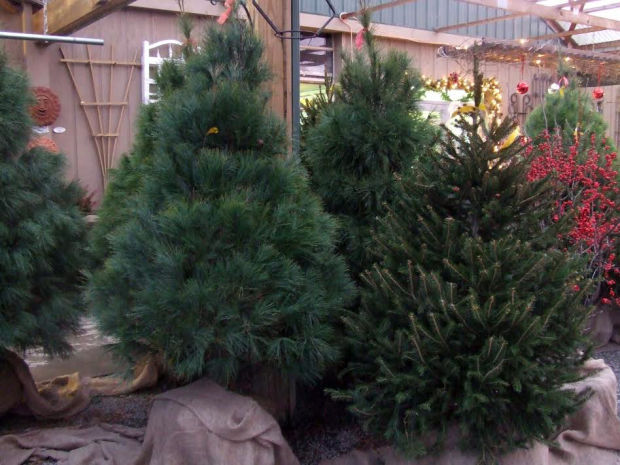 Plant A New Tradition With A Live, Uncut Christmas Tree