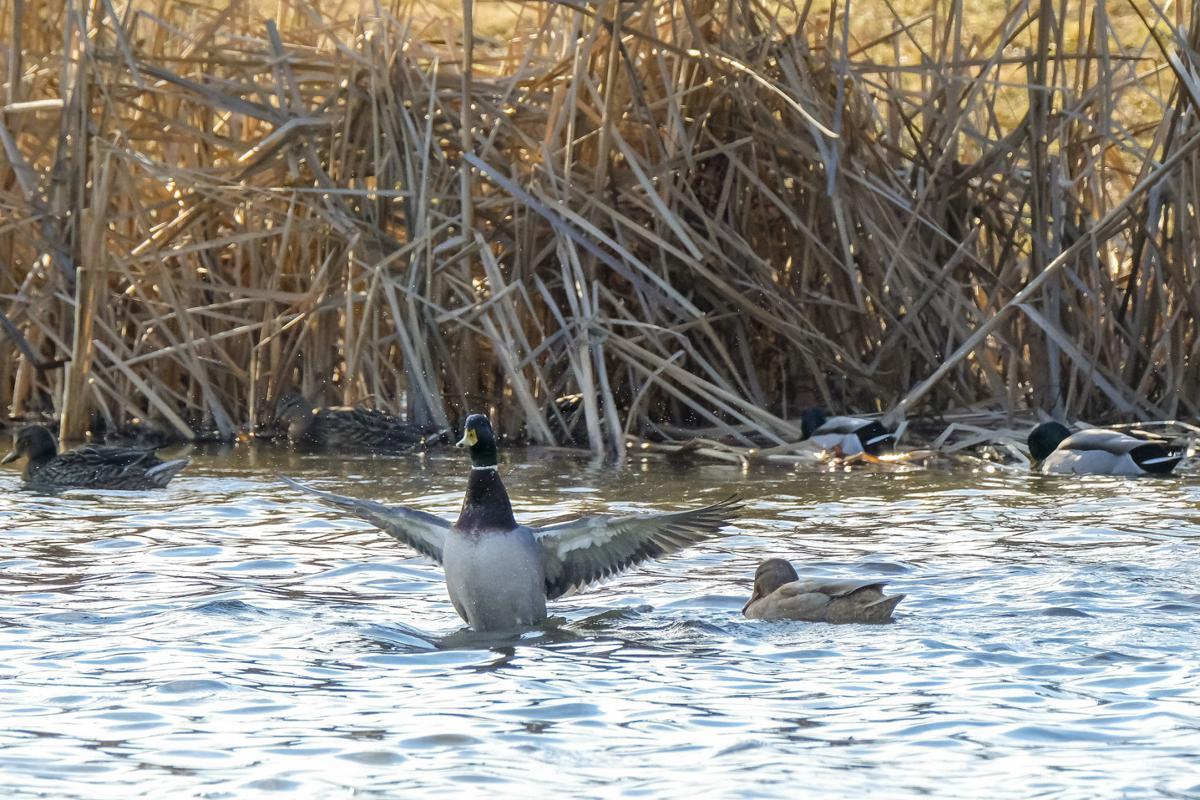 012719-otd-ducks-1.jpg