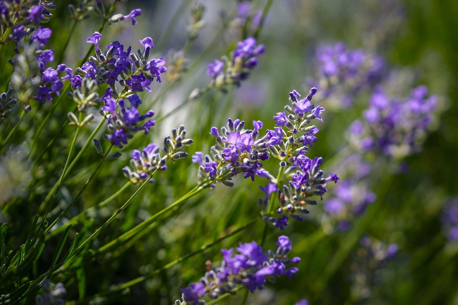 060819-nws-lavender-2.jpg (copy)