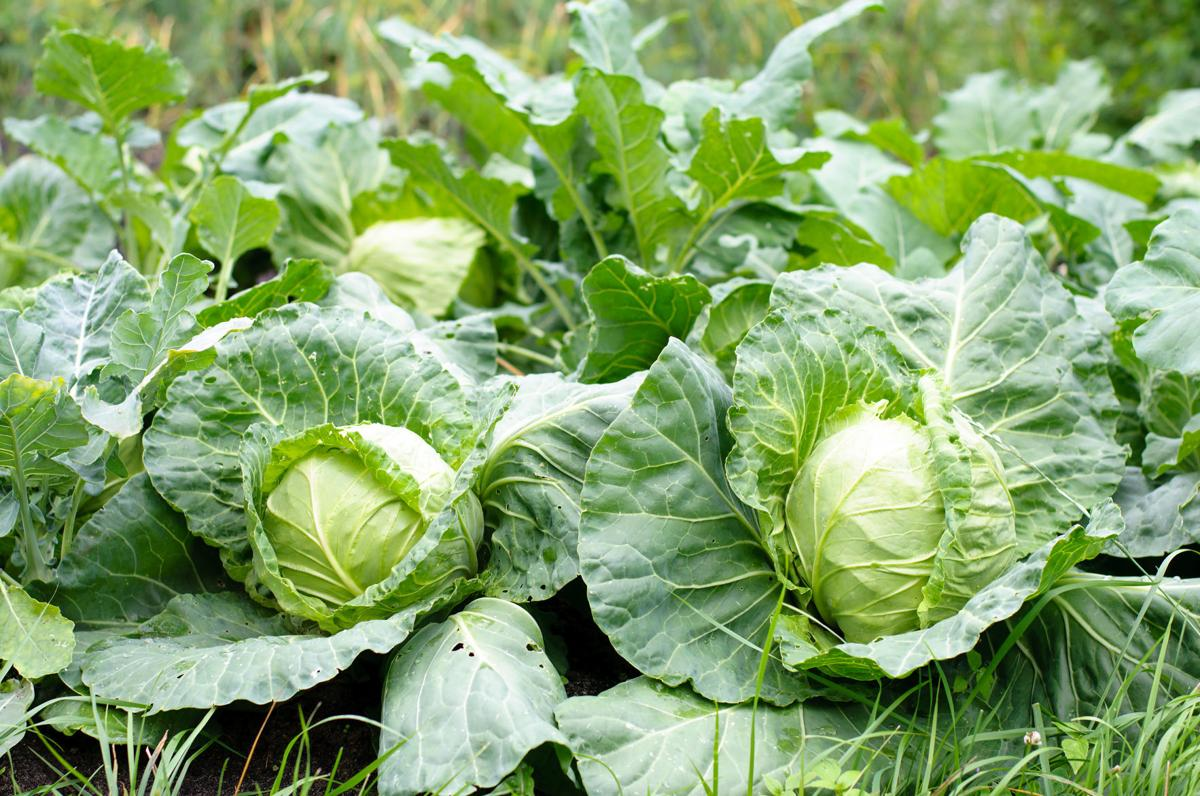 Taste | Cabbage