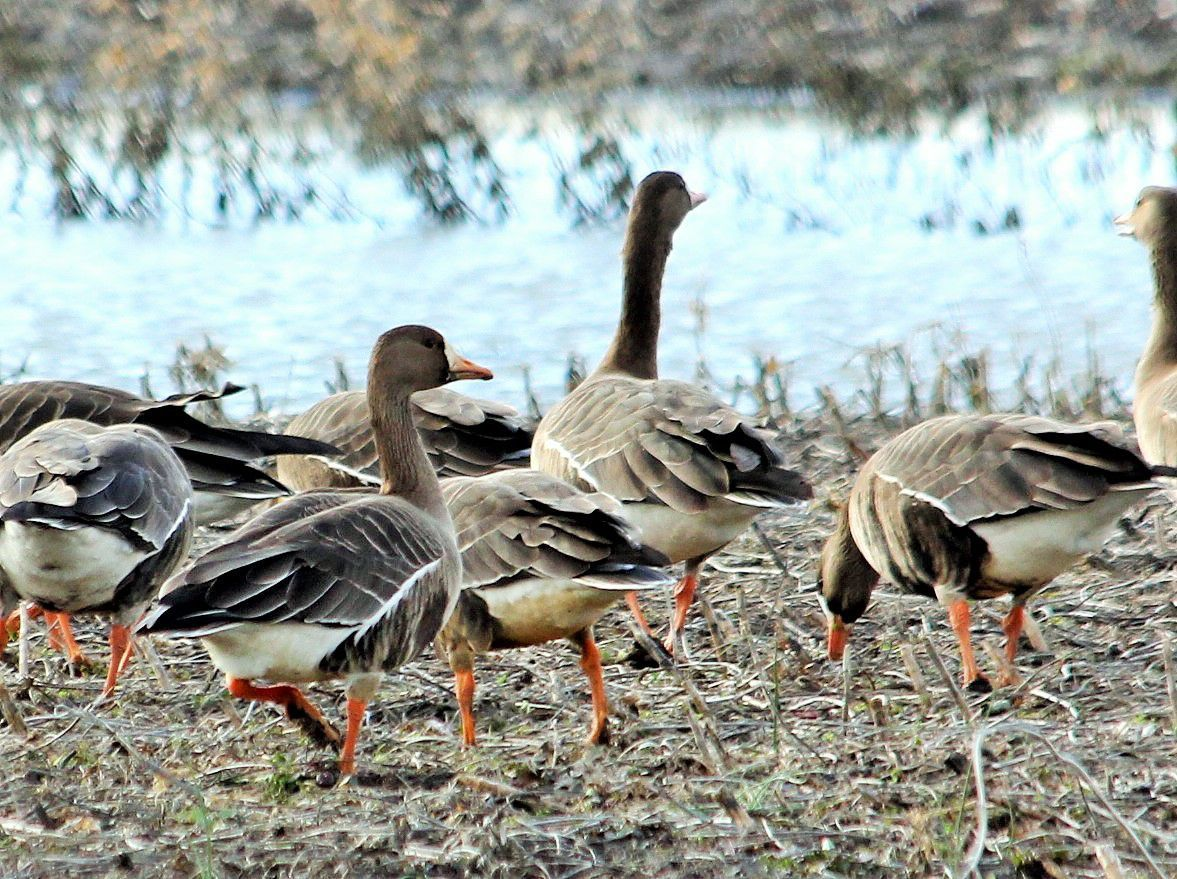 White-fronted geese -- 1