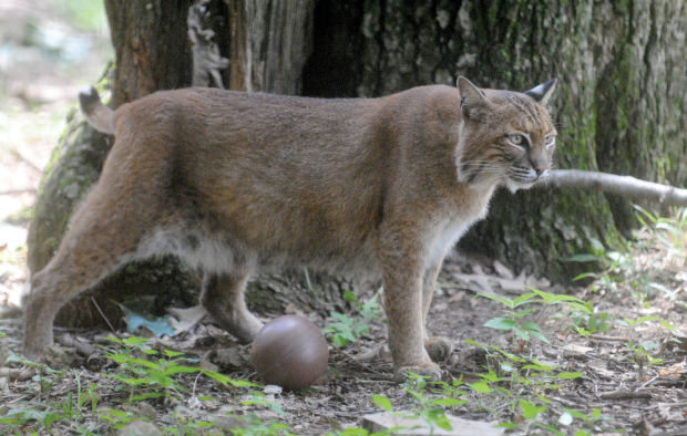 Bobcat Hunting Could Return To Illinois Local News