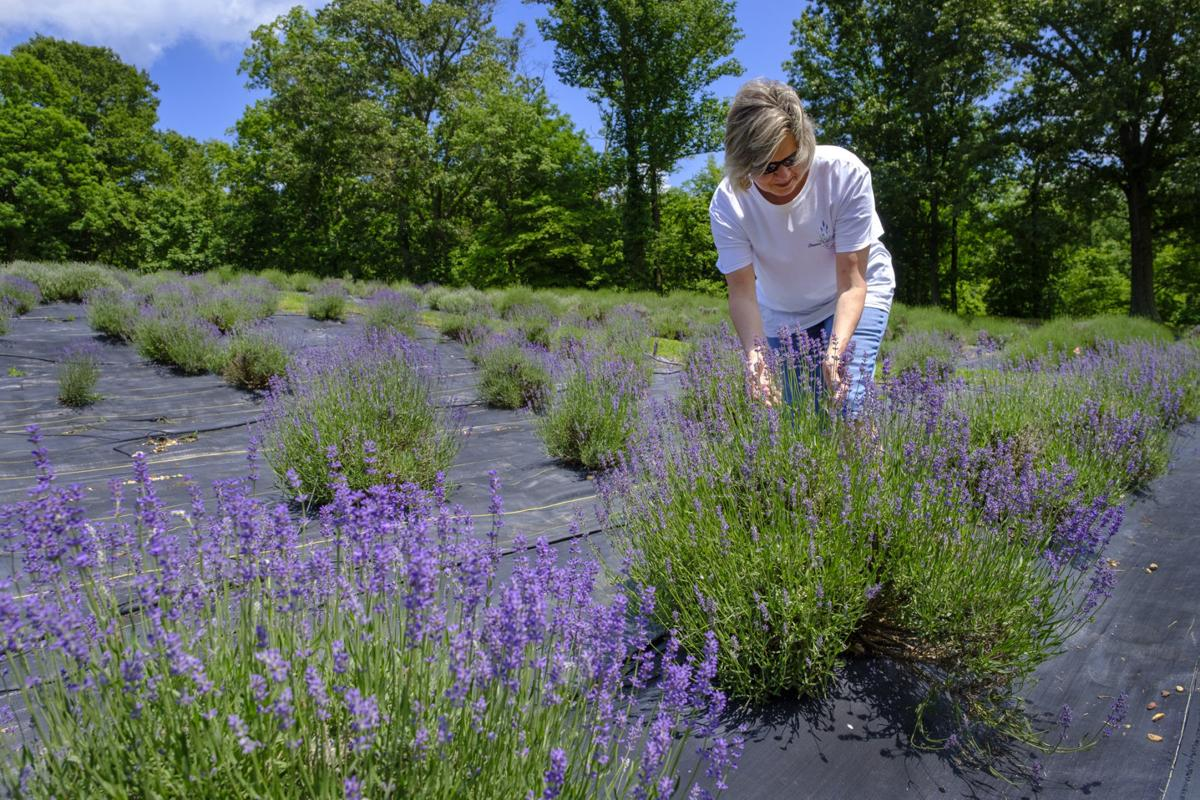 Shawnee Hills Lavender Farm set to open for 2018 season | Local News