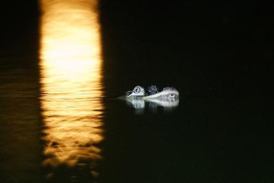 APTOPIX Alligator Chicago