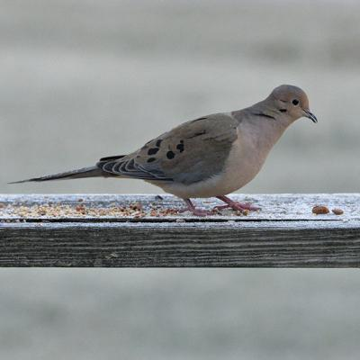 012416-nws-southern-exposure-mourning-dove.jpg