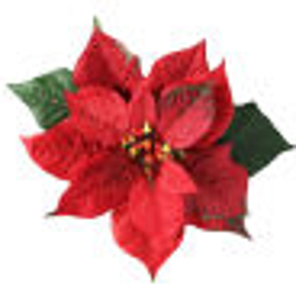 Red Christmas Flower.Ten Things To Know About A Christmas Flower Favorite Home