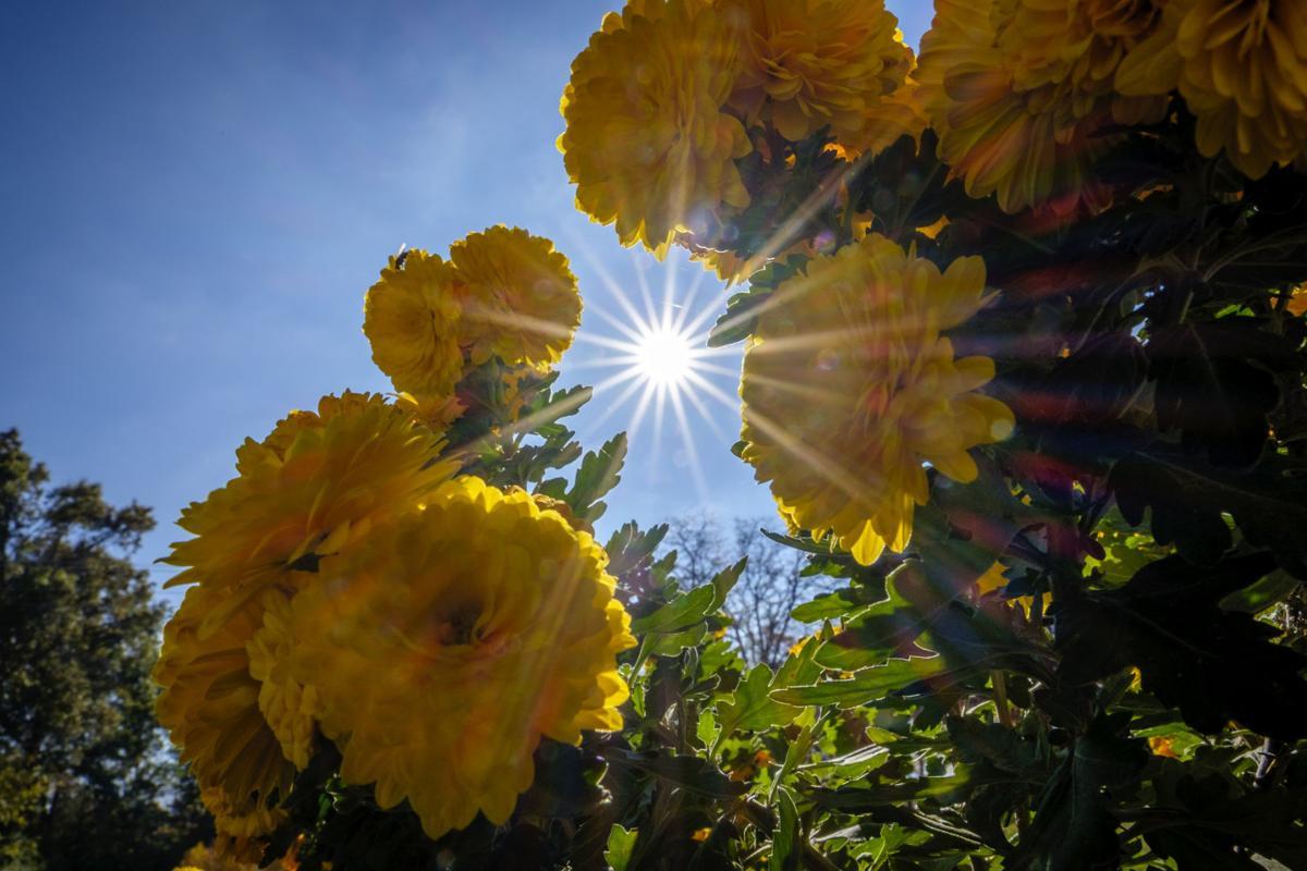 111417-nws-sunny-mums-1.jpg