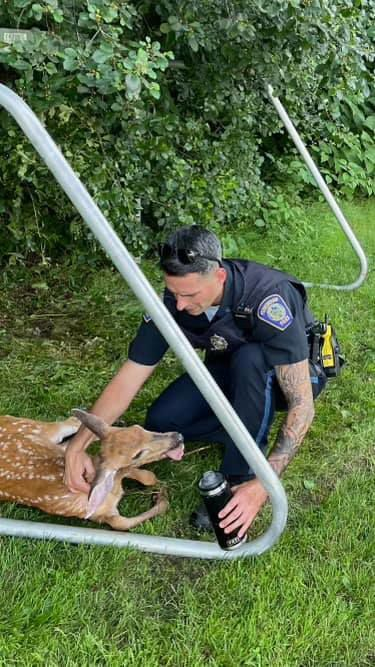 Foxboro cop saves deer (copy)