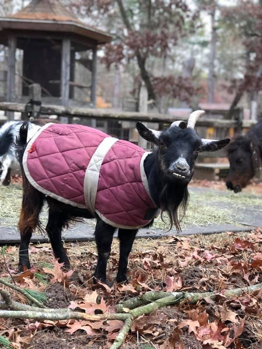 blossom the goat