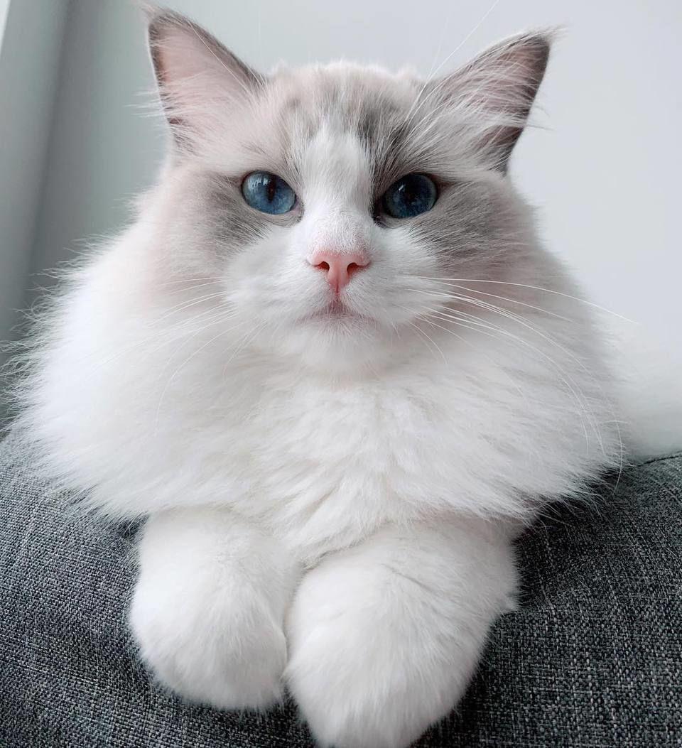 ragdollcat