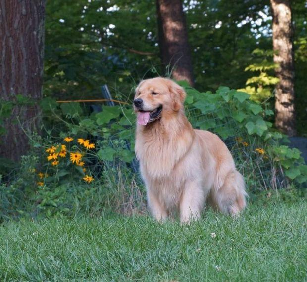 Reward For Dog That Ran Off From Show In Wrentham; Golden