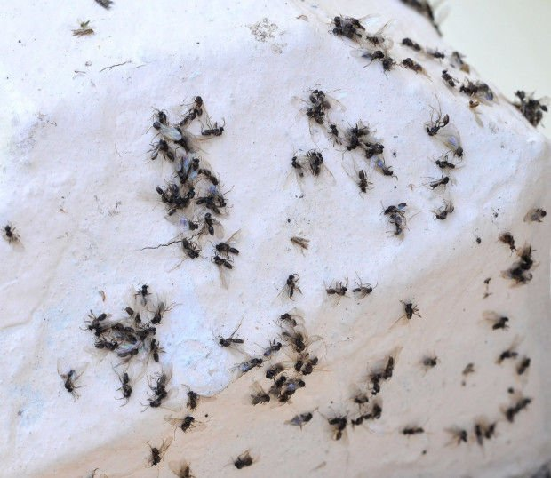 Flying Ants Create Horror Show In Attleboro Local News Thesunchronicle Com