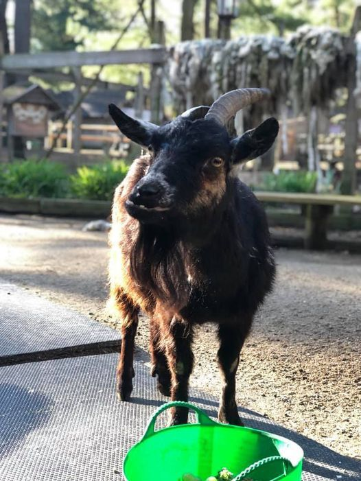 blossom the goat 2