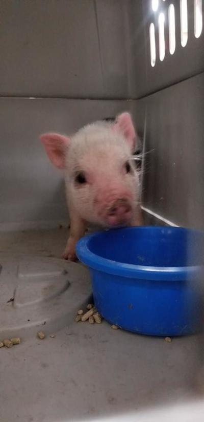 pig (copy)
