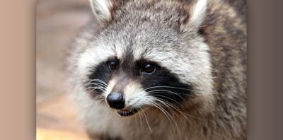 Local dog bitten by rabid raccoon