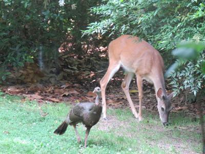 Doe and turkey