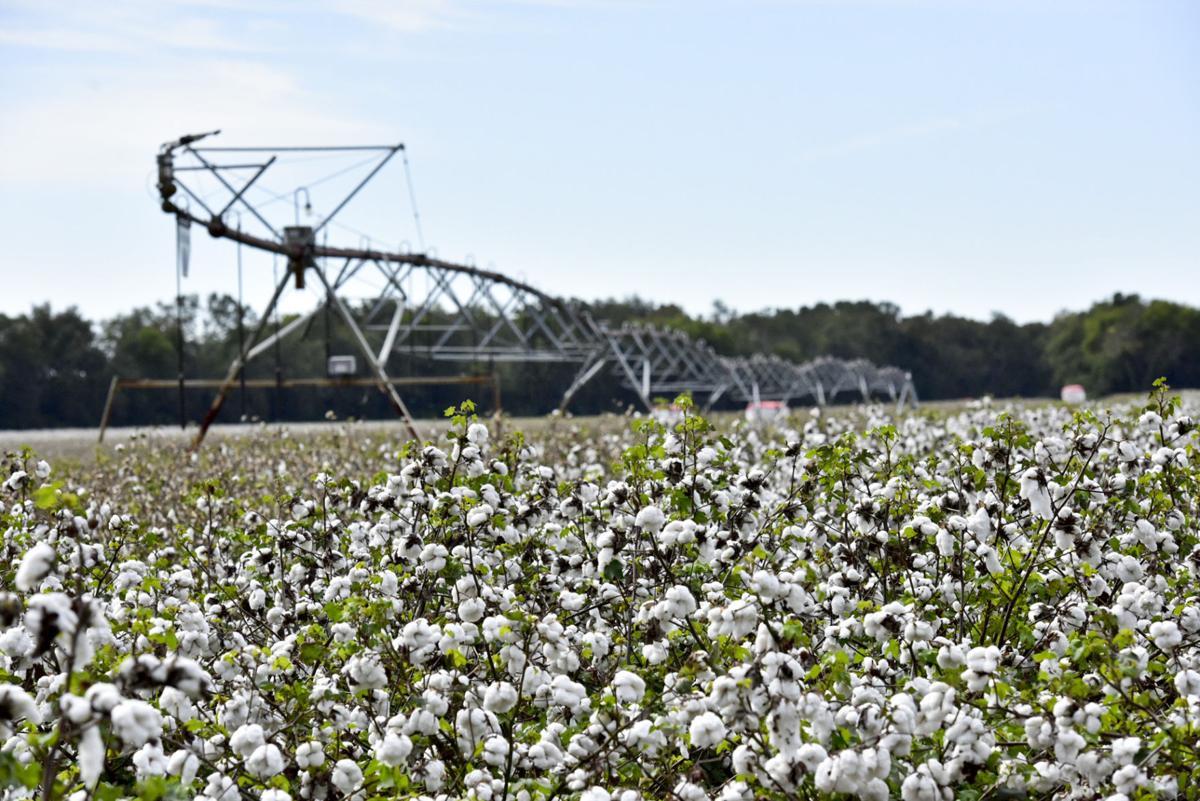 Cotton Harvest SUN A1