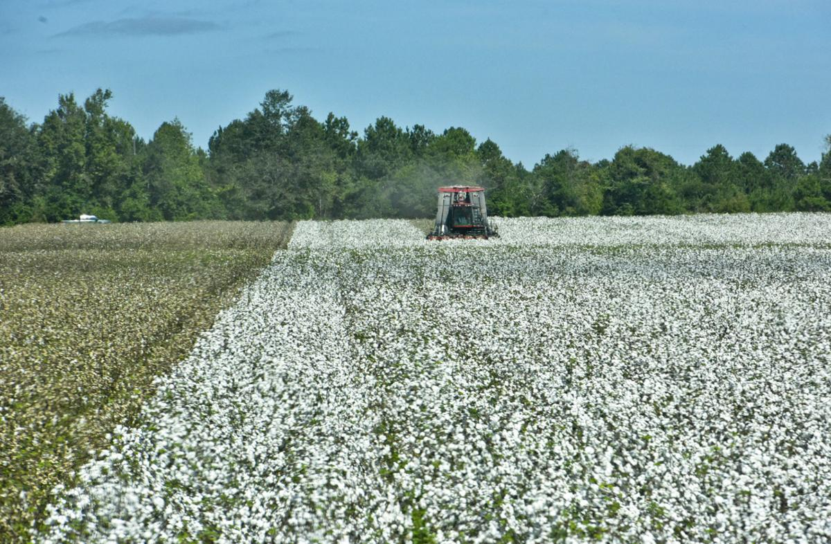 Cotton harvest MON FARM