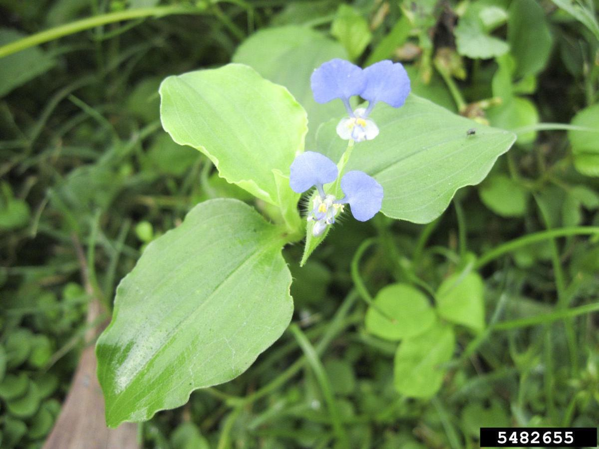 Local fields to be scouted for noxious weed