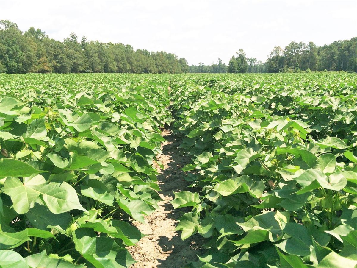 FARM EDITION Perrow Cotton