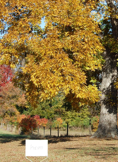 Fall Color From Nut Trees Digging In Thetandd Com