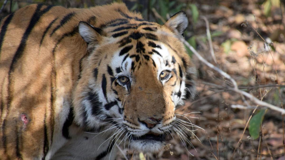 Tiger universities