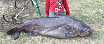 Giant catfish