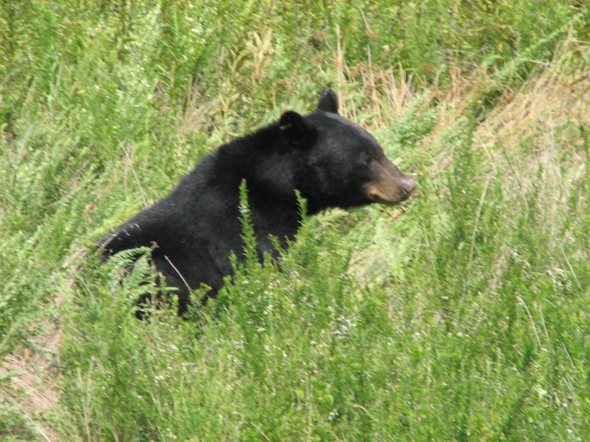 S.C. bears