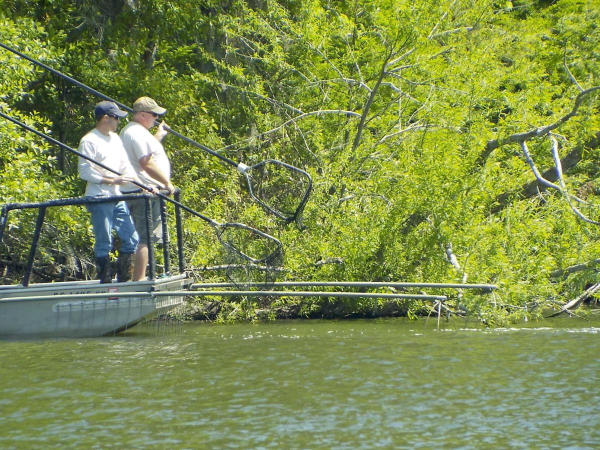 39 electrofishing 39 scdnr samples bass in lake marion for Lake marion fishing report