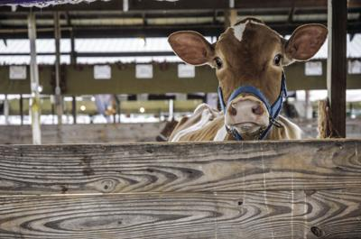 Declaring War On Cows Green New Deal Targets Greenhouse Gases From