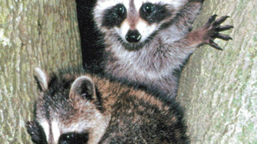More to raccoons than meets the eye   Local   thetandd.com