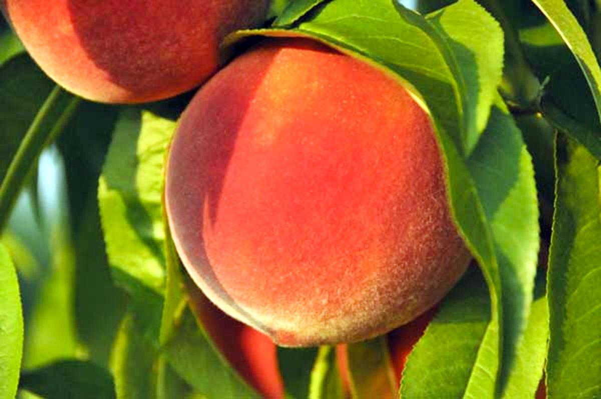 120919 FARM peach study 1 (copy)