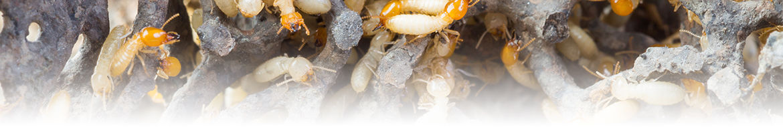 Termites 3.jpg