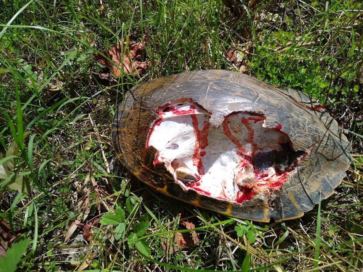 Injured tortoise